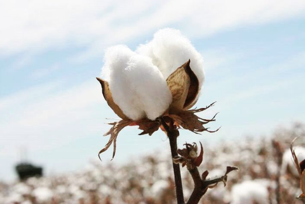 peruvian cotton